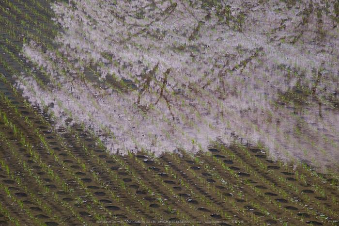 諸木野・桜(DSCF0731,F10,200mm)2014yaotomi_.jpg