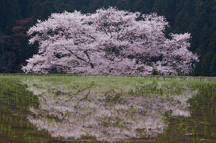 諸木野・桜(DSCF0735,F10,55mm)2014yaotomi_.jpg