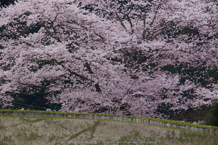 諸木野・桜(DSCF0746,F7.1,121.8mm)2014yaotomi_.jpg