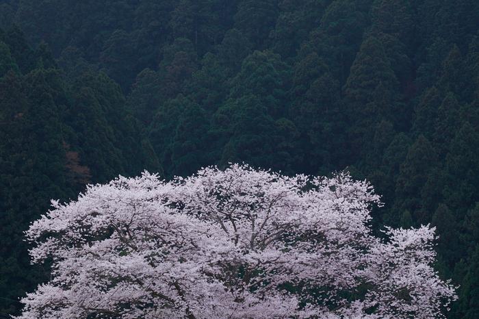 諸木野・桜(DSCF1009,F10,74.1mm)2014yaotomi_.jpg