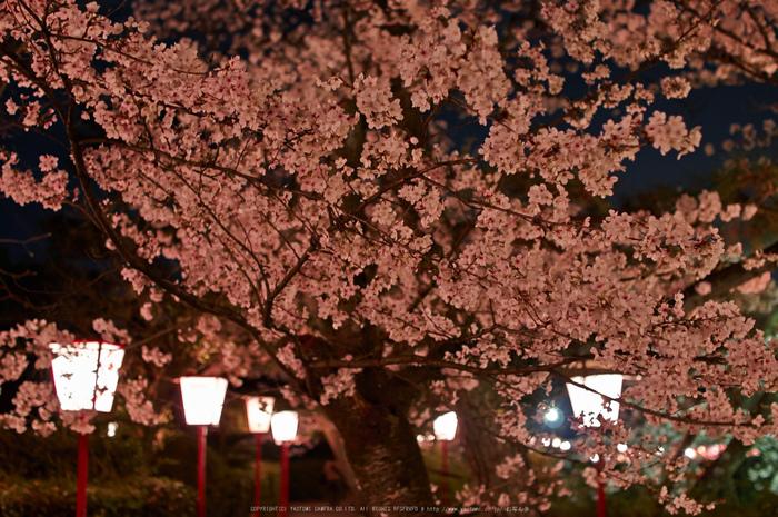 郡山城跡・桜(PK3_8934,F2,30mm)2014yaotomi_.jpg