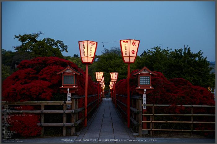 長岡天満宮,キリシマツツジ(IMG_7078,F2.8)2014yaotomi_Top.jpg