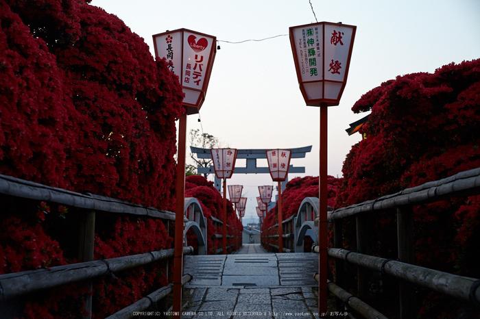 長岡天満宮,キリシマツツジ(IMG_7103,F4.5)2014yaotomi_.jpg