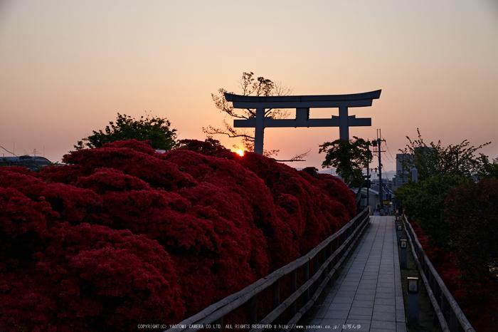 長岡天満宮,キリシマツツジ(IMG_7153,F6.3)2014yaotomi_.jpg