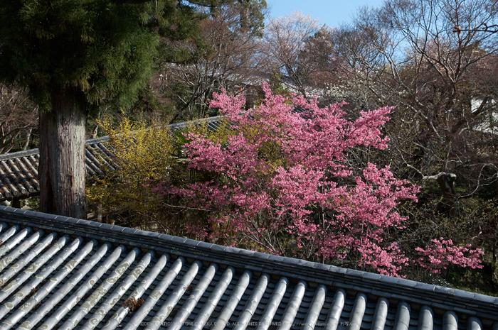 長谷寺,桜(PK3_8338,F8,34mm)2014yaotomi_.jpg