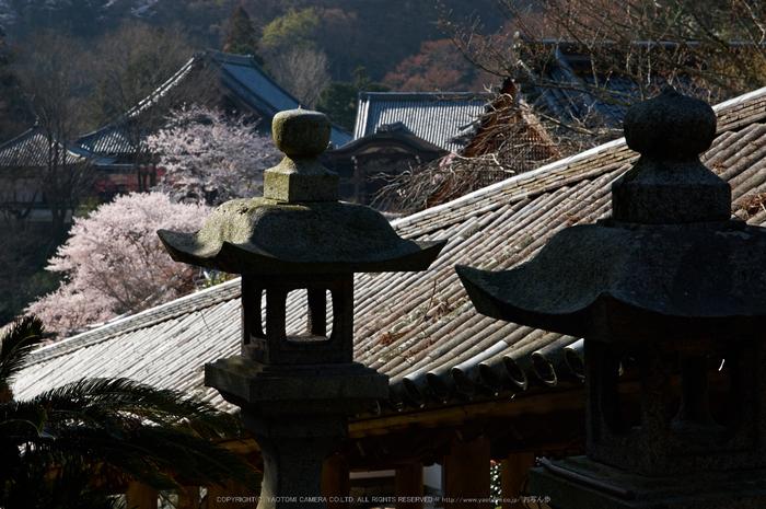 長谷寺,桜(PK3_8354,F9,70mm)2014yaotomi_.jpg