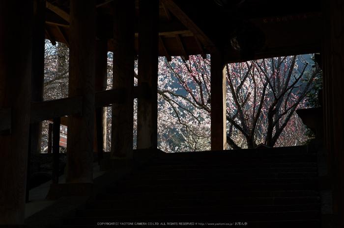 長谷寺,桜(PK3_8358,F8,70mm)2014yaotomi_.jpg