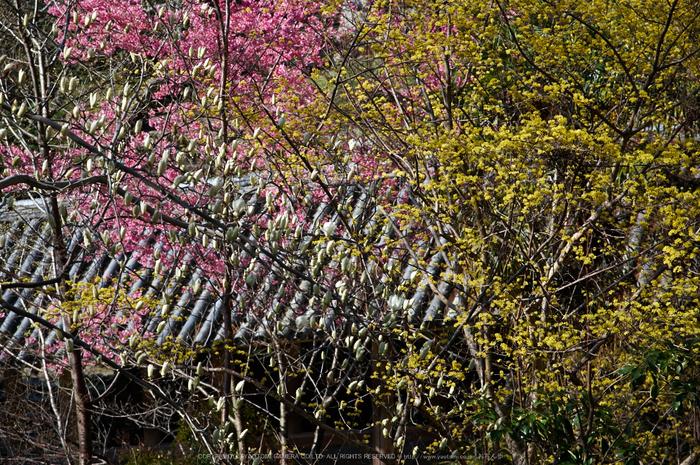 長谷寺,桜(PK3_8360,F4.5,70mm)2014yaotomi_.jpg