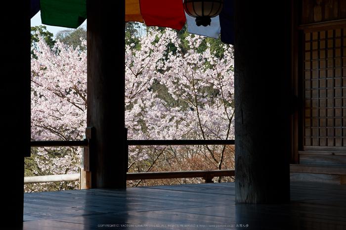 長谷寺,桜(PK3_8372,F9,58mm)2014yaotomi_.jpg