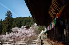 長谷寺,桜(PK3_8397,F10,21mm)2014yaotomi_.jpg