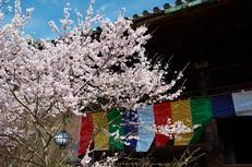 長谷寺,桜(PK3_8415,F6.3,26mm)2014yaotomi_.jpg