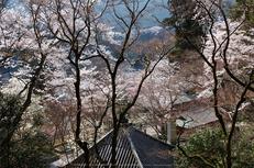 長谷寺,桜(PK3_8436,F9,34mm)2014yaotomi_.jpg