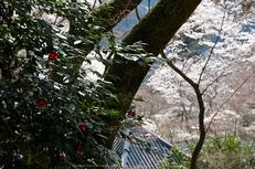 長谷寺,桜(PK3_8438,F5,45mm)2014yaotomi_.jpg