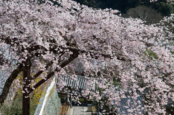 長谷寺,桜(PK3_8489,F7.1,70mm)2014yaotomi_.jpg