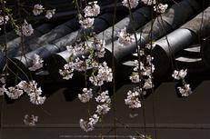 長谷寺,桜(PK3_8504,F8,70mm)2014yaotomi_.jpg