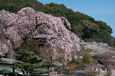 長谷寺,桜(PK3_8516,F9,53mm)2014yaotomi_.jpg