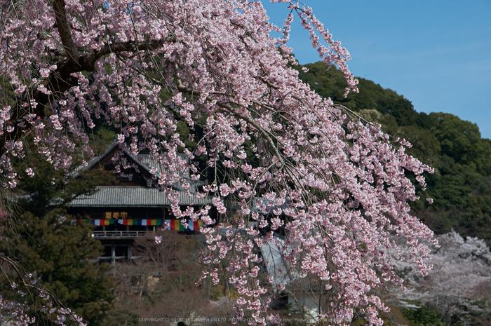 長谷寺,桜(PK3_8519,F7.1,70mm)2014yaotomi_.jpg
