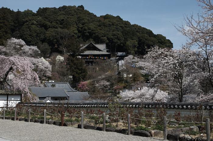 長谷寺,桜(PK3_8520,F9,31mm)2014yaotomi_.jpg