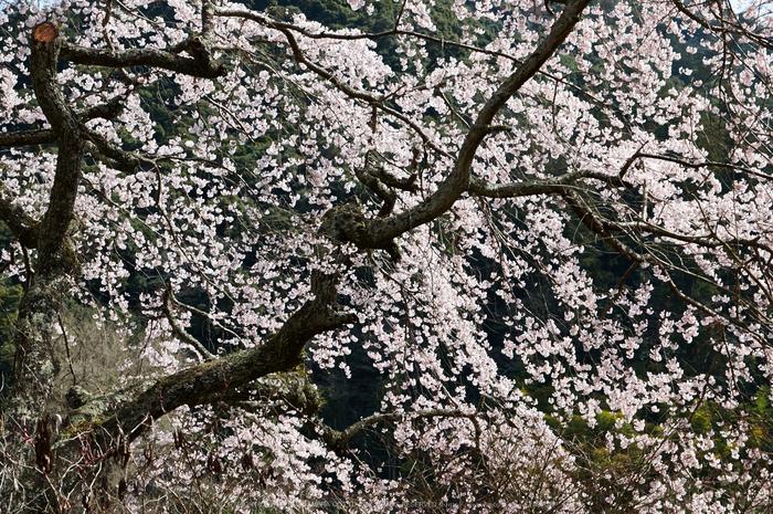長谷寺,桜(PK3_8539,F7.1,48mm)2014yaotomi_.jpg