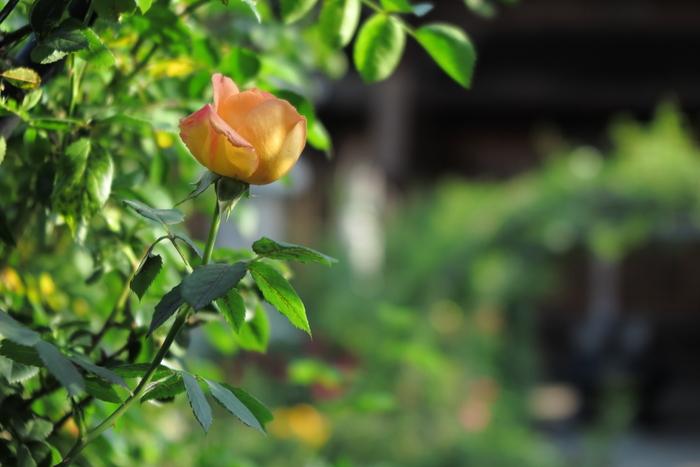 おふさ観音,バラ(2014yaotomi)_0003.JPG