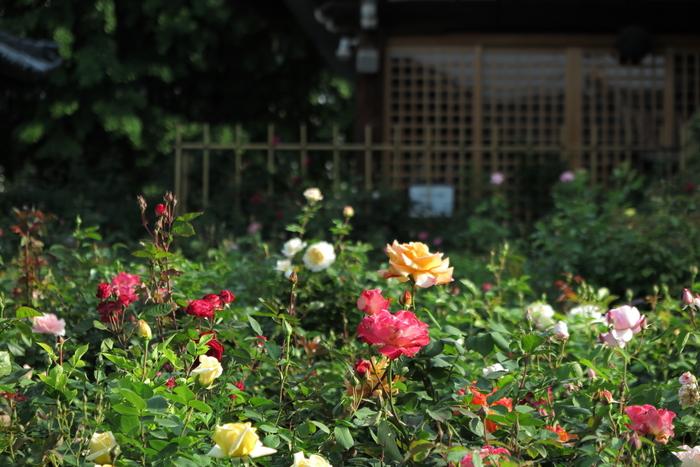 おふさ観音,バラ(2014yaotomi)_0004.JPG