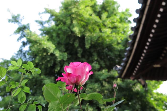 おふさ観音,バラ(2014yaotomi)_0013.JPG