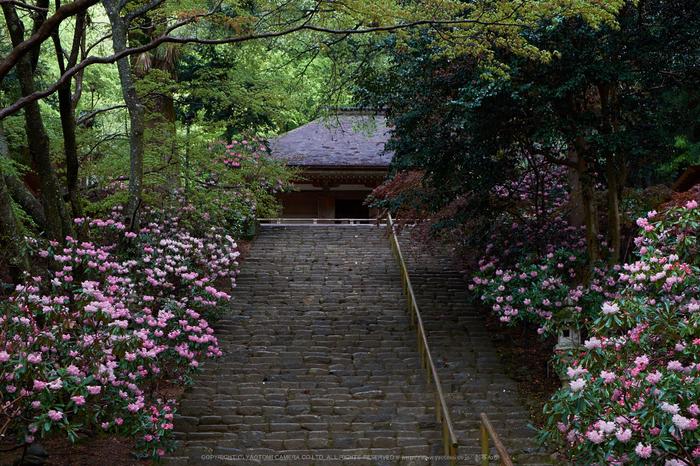 室生寺,石楠花(DSCF5911,F7.1,44.4mm)2014yaotomi_.jpg