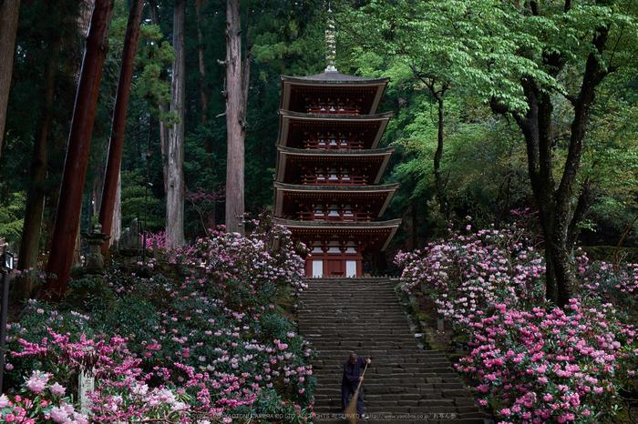 室生寺,石楠花(DSCF5945,F7.1,37.4mm)2014yaotomi_.jpg