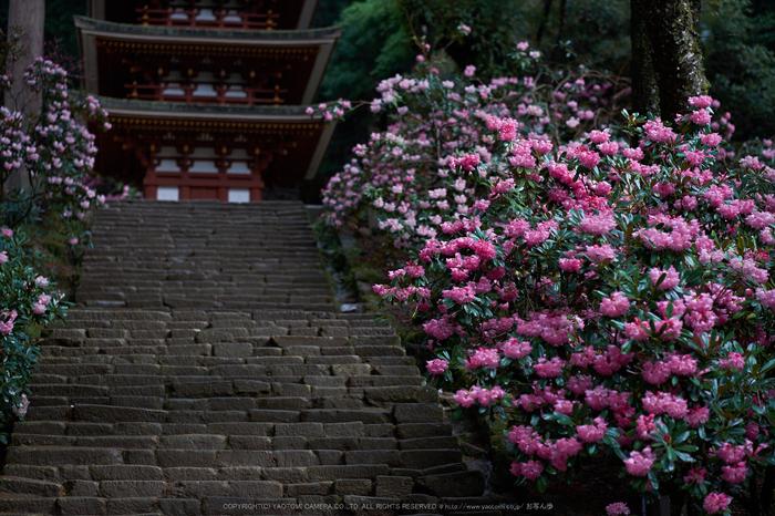 室生寺,石楠花(DSCF5976,F1.6,56mm)2014yaotomi_.jpg
