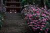 室生寺,石楠花(DSCF5976,F1.6,56mm,FULL)2014yaotomi_.jpg