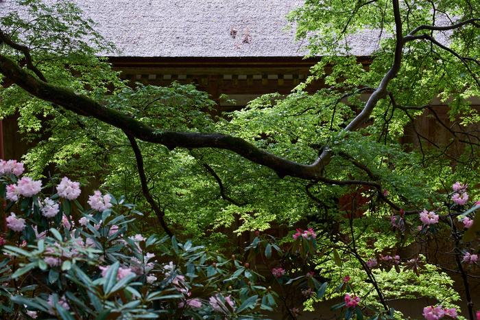 室生寺,石楠花(DSCF5999,F7.1,70.5mm)2014yaotomi_.jpg