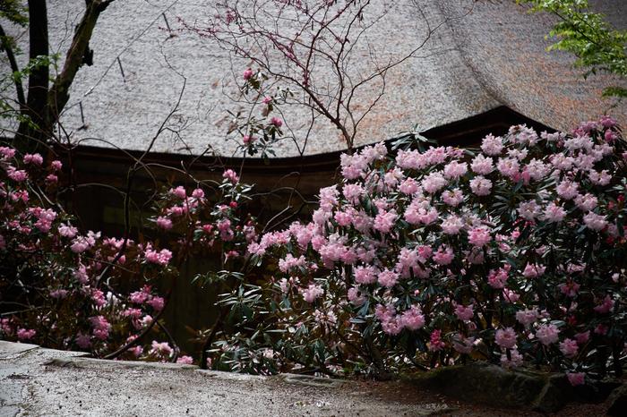 室生寺,石楠花(DSCF6005,F5.6,200mm)2014yaotomi_.jpg
