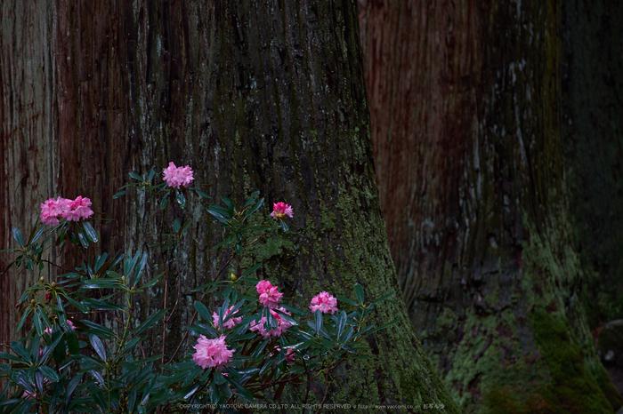 室生寺,石楠花(DSCF6051,F5,90.4mm)2014yaotomi_.jpg