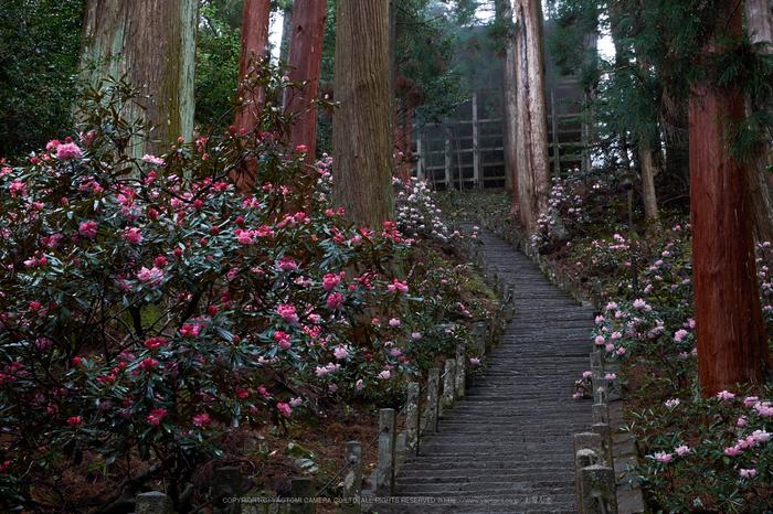 室生寺,石楠花(DSCF6065,F9,37.4mm)2014yaotomi_.jpg