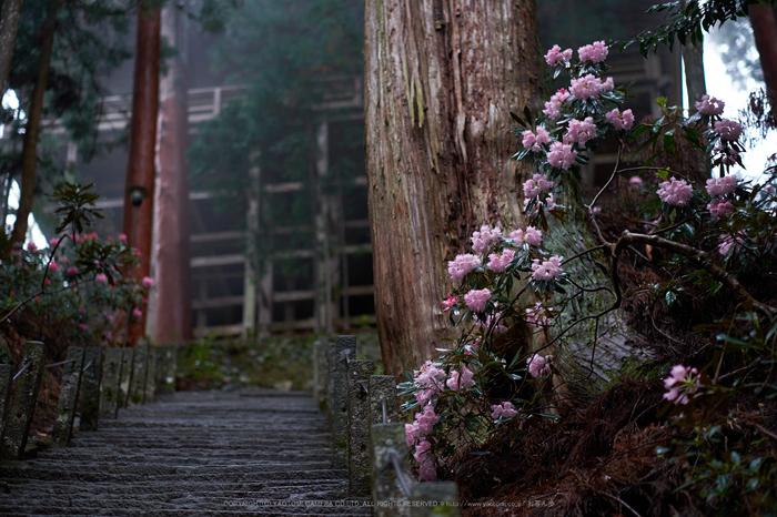 室生寺,石楠花(DSCF6070,F1.4,56mm)2014yaotomi_.jpg