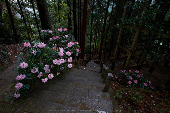 室生寺,石楠花(DSCF6083,F10,10mm)2014yaotomi_.jpg