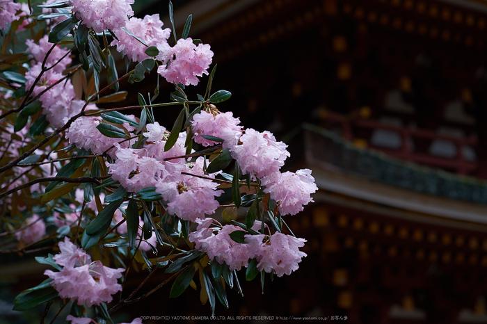 室生寺,石楠花(DSCF6088,F2,56mm)2014yaotomi_.jpg