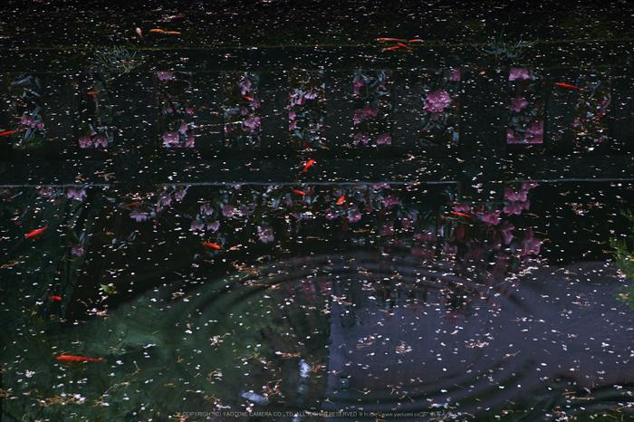 室生寺,石楠花(DSCF6113,F10,55mm)2014yaotomi_.jpg