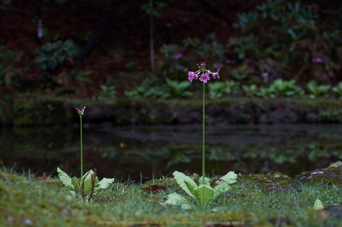 室生寺,石楠花(DSCF6134,F5.6,70.5mm)2014yaotomi_.jpg