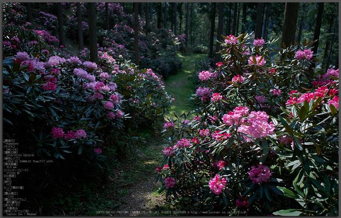 弁財天石楠花の丘(P1040394,F1.7)2014yaotomi_Top.jpg