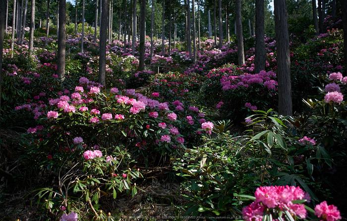 弁財天石楠花の丘(P1040396,F1.7)2014yaotomi_.jpg