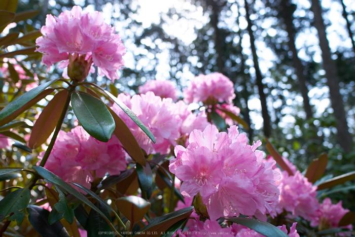 弁財天石楠花の丘(P1040408,F2.8)2014yaotomi_.jpg