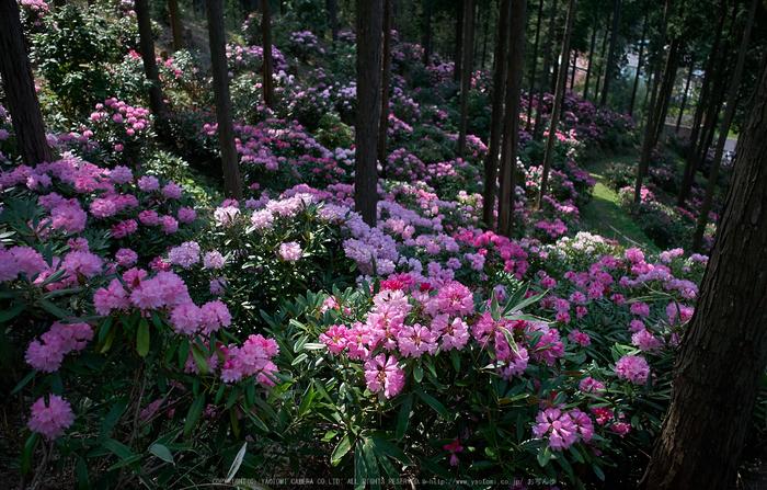 弁財天石楠花の丘(P1040414,F2)2014yaotomi_ (1) .jpg