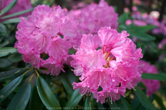 弁財天石楠花の丘(P1040418,F1.7)2014yaotomi_.jpg