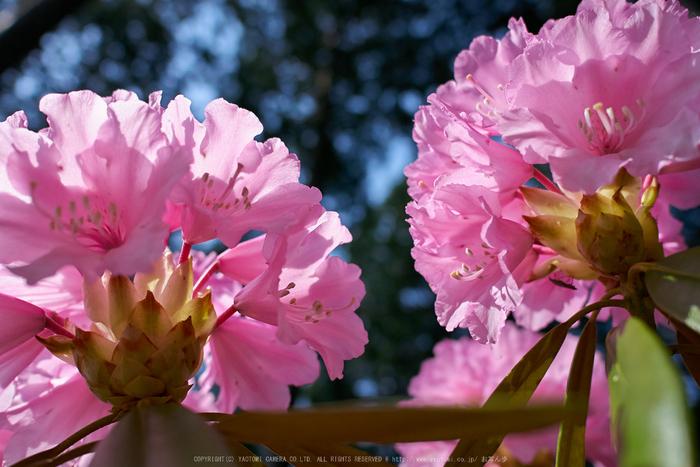 弁財天石楠花の丘(P1040443,F2.5)2014yaotomi_.jpg