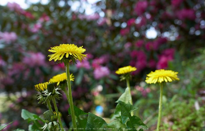 弁財天石楠花の丘(P1040464,F2.8)2014yaotomi_.jpg