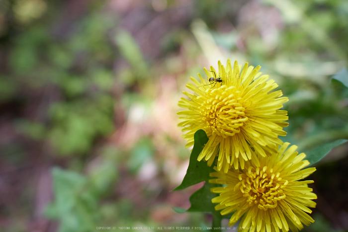 弁財天石楠花の丘(P1040471,F2)2014yaotomi_.jpg