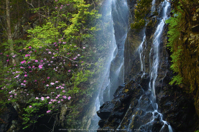 御船の滝,石楠花(SDIM0342,86mm,F20)2014yaotomi_.jpg