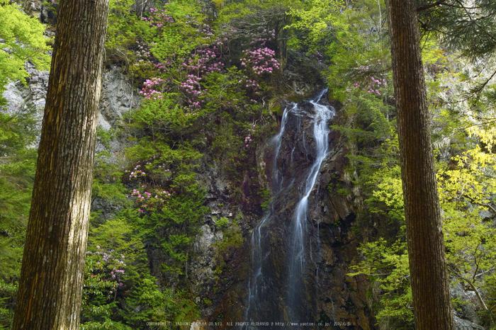 御船の滝,石楠花(SDIM0370,--mm,F--)2014yaotomi_.jpg