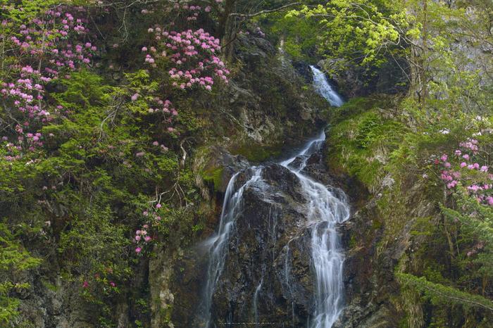 御船の滝,石楠花(SDIM0388,70mm,F14)2014yaotomi_.jpg